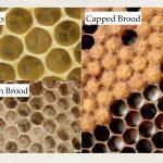Dustin Bajer, Edmonton Beekeeping Course, All About Honeybees, Honeybee Brood Development Stages