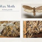 Edmonton Beekeeping Course, Beehive Management and Honeybee Diseases, Wax Moth