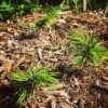 Forest City Plants Propagation Course, Bristlecone Pine Tree Seedlings