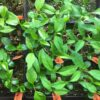Forest City Plants Propagation Course, pawpaw seedlings